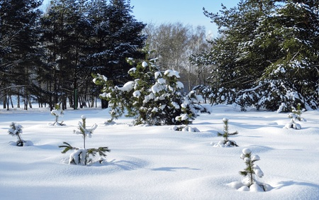 Small pines covered with snow on the glade in winter park, Russia photo