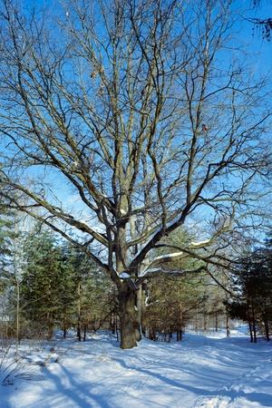 Oak tree in the winter forest photo