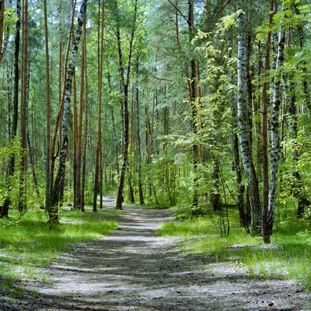 The trail in the forest with birches and pines in a spring day, Russia photo