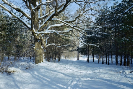 Oak tree with spreading snowy branches in the winter forest photo