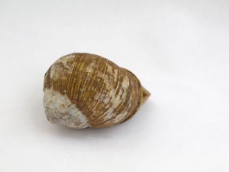 edible snail: Edible snail on white background Stock Photo