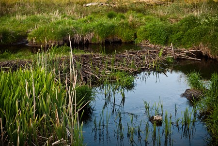 Beaver dam blocking small water stream in green meadow.  Stock Photo - 7154911