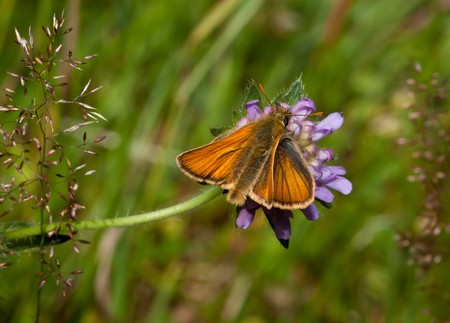 ochlodes: Large Skipper sitting on thistle with blurred background.