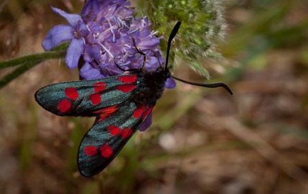 Close up of five spot burnet resting on blue thistle flower. photo