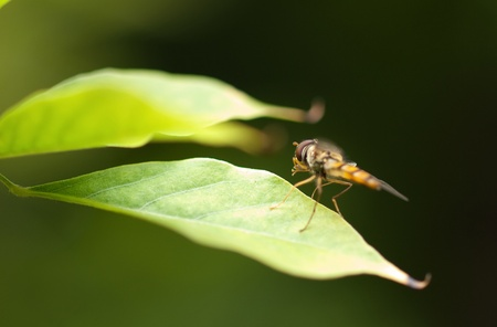 nectaring: Flower fly sitting on a green leaf with green background.