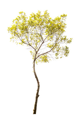 tall tree: yellow beautiful and tall tree isolated on white background Stock Photo