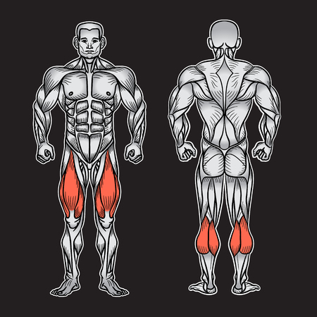 男性の筋肉システム、練習および筋肉ガイドの解剖学.人間の筋肉ベクトル アート、正面図、背面図。ベクトル図