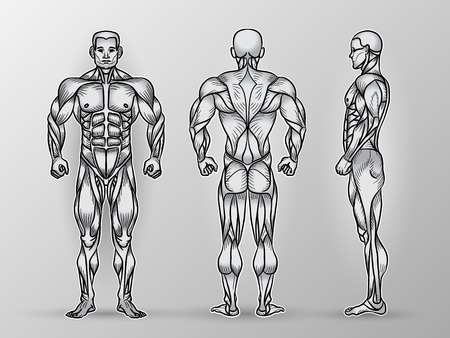 Anatomy of male muscular system, exercise and muscle guide. Human muscles vector art, front, back, side view. Vector illustration of strong man, strength training