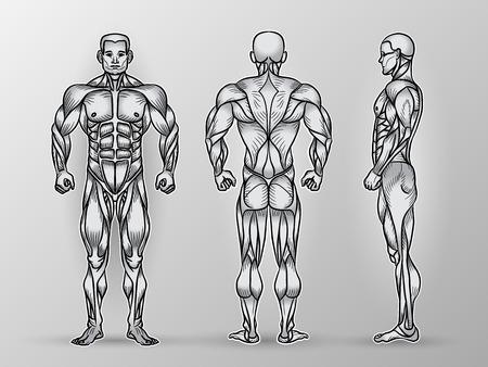 Anatomie du système musculaire mâle, l'exercice et le guide musculaire. muscles droits de l'art vectoriel, avant, arrière, vue de côté. Vector illustration de l'homme fort, l'entraînement en force Vecteurs