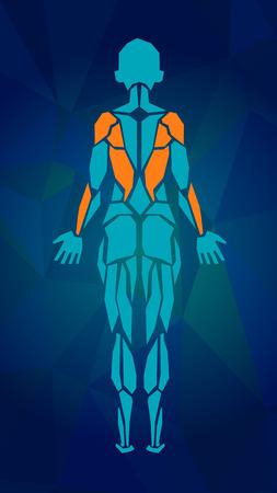 女性の筋肉システム、練習および筋肉ガイドの多角形の解剖学.女性筋のベクトル アート、背面図。ベクトル図