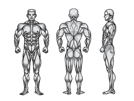 Anatomy of male muscular system, exercise and muscle guide. Human muscles  art, front, back, side view.  illustration of strong man, strength training