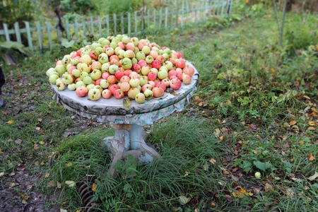 Green red apples lie on an old wooden table outdoor in the garden