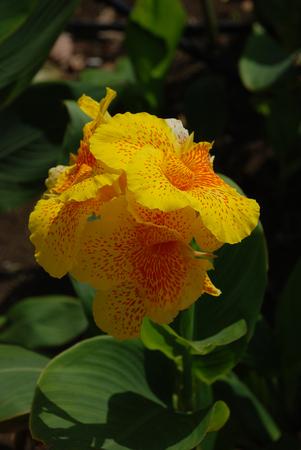 Allamanda yellow flower of Brazil isolated on white background