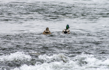 Duck and Drake are swimming in a raging river. 版權商用圖片