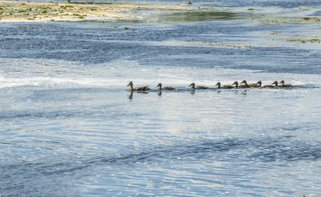 A wild duck with a brood of ducklings floating near the lake shore Imagens