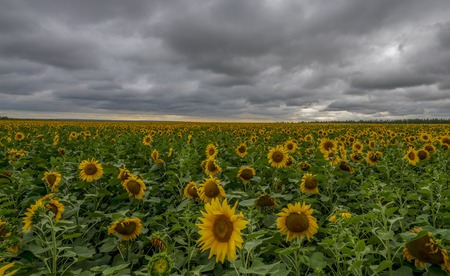 Sunflower field during the storm.