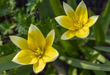 Miniature Tulip Dasystemon Tarda during flowering in the spring Imagens