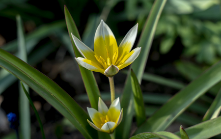 Miniature Tulip Dasystemon Tarda during flowering in the spring Stock Photo