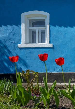 red tulips in front of the wall of the house bright blue with white Windows