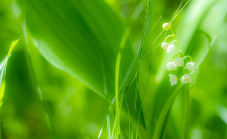 Spring Lily of the valley flower close-up against the background of Unsharp foliage in the sunlight.