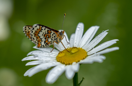 Beautiful butterfly sitting on a Daisy flower in the rain drops on a blurred green background.