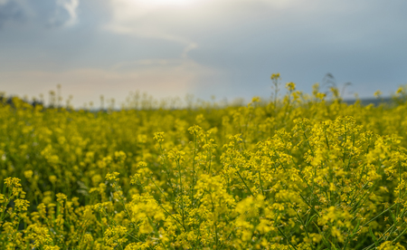 field blooming yellow rape flowers in the light of the contour at sunset Zdjęcie Seryjne