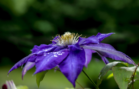Clematis flower blue in the raindrops among the leaves close-up