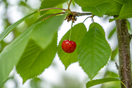Ripe cherries hanging on a branch among the leaves