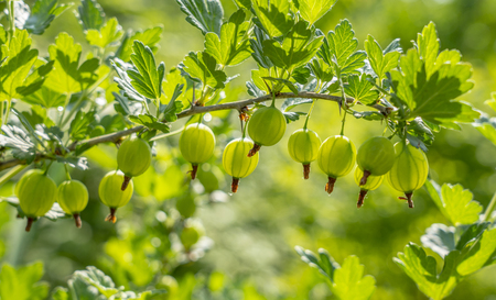Gooseberry berries are hanging in a row on a branch illuminated by a backlight