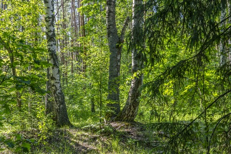 beautiful summer landscape, three birch trunks in a dark dense forest.