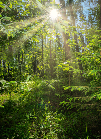 beautiful summer landscape, dense forest, the sun breaks through the thickets creating beautiful reflections on the leaves and grass.