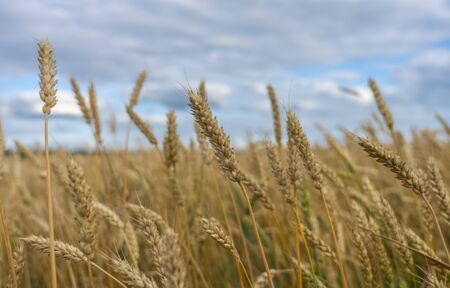 Wheat spikelets on a wheat field close-up against the blue sky