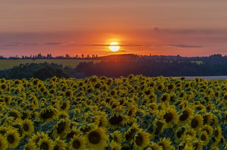 crimson sunset over the field of flowering sunflower