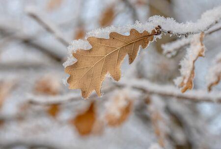 Liście dębu w wysokiej rozdzielczości na śniegu Zdjęcie Seryjne