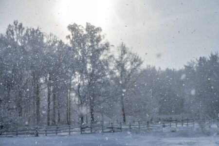 Christmas background with snowy pine trees in heavy snowfall. Winter blue toned image. Forest during a snowstorm, cold landscape