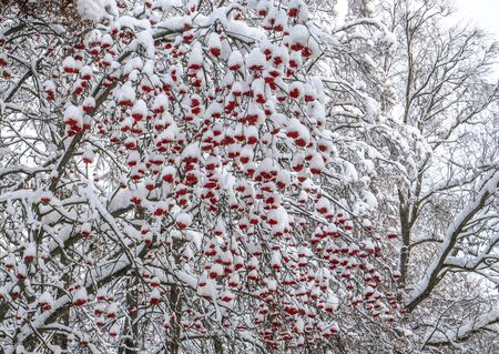 Background with bright red berries of mountain ash under snow Stock fotó