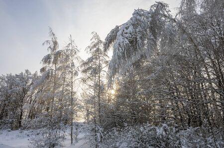 Bent birch in a snowy forest in winter
