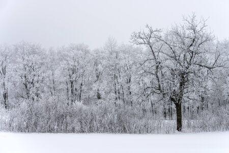 Winter landscape, snow-covered trees against snow clouds Zdjęcie Seryjne