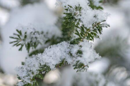 Korean fir is under a huge snow caps.