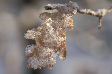 Brown oak tree leaves covered with hoarfrost. Close-up. Zdjęcie Seryjne