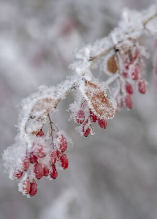 The fruit of barberry in the snow