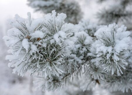 spruce branch with cones in the snow on a white background