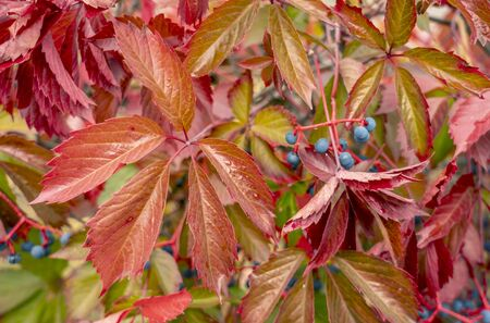 Bright red foliage Parthenocissus closeup