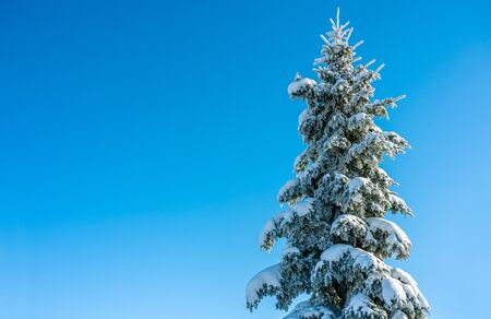 Postcard, a huge fluffy spruce covered with snow on a solid background of blue sky Zdjęcie Seryjne