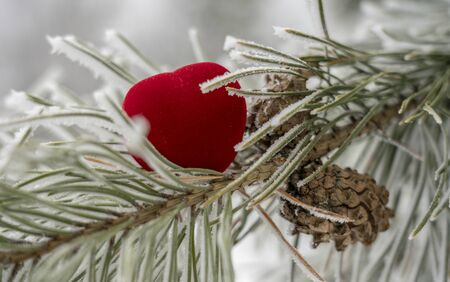 Valentines day, scarlet heart, heart, lies on a pine branch with cones in frost and snow.