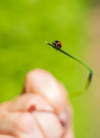 a ladybug crawls on a blade of grass held by a hand on a beautiful blurred green background.
