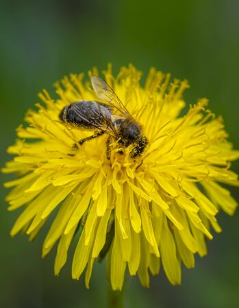 close-up shot of a bee covered with yellow pollen on a bright yellow dandelion