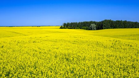 In the middle of a field of flowering rapeseed is a small forest and a dirt road leading to it, yellow rapeseed flowers against the blue sky
