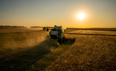 Harvesting grain in a field of barley at sunset,