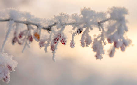 branch of barberry with red berries covered with crystals of snow and frost in the extreme cold on the background of a red sunset